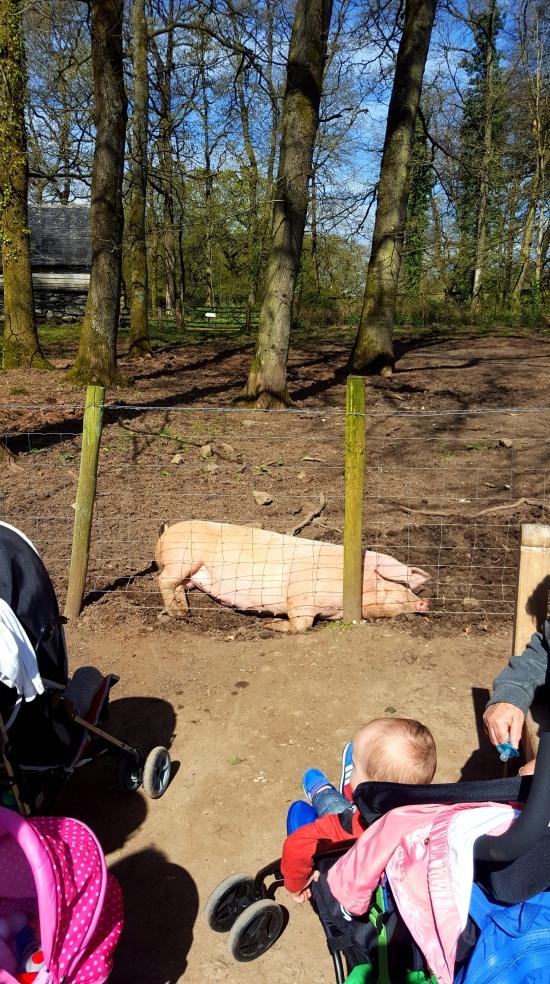 St Fagans resident pig